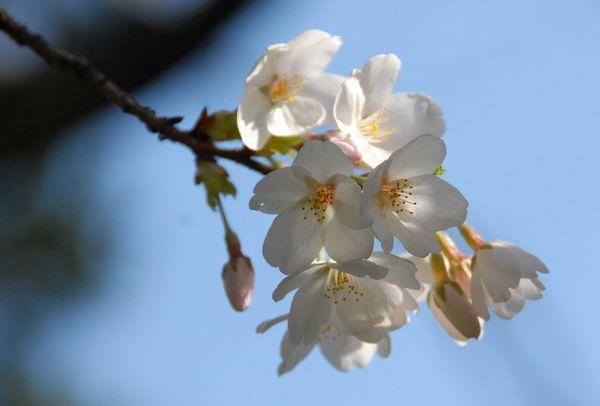 桜DSC_0009